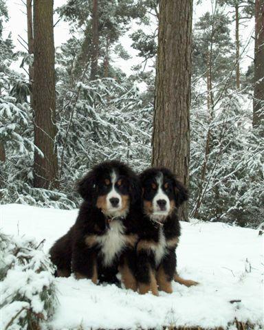 Berner Sennen Puppies Fotogalerij